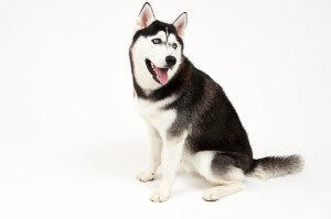Picture of Jonathan the Husky and Link to Policy Updates
